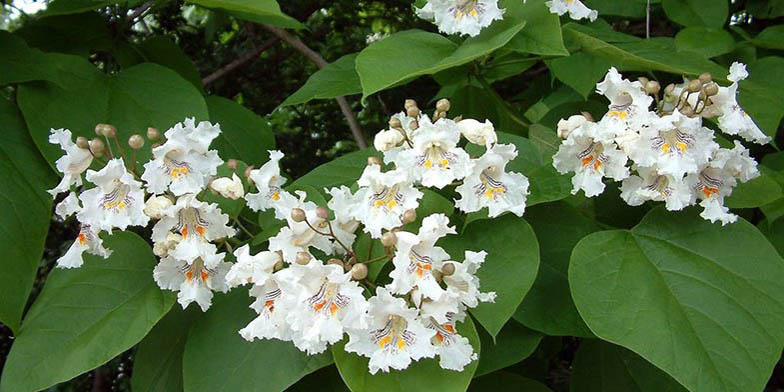 Hardy catalpa – description, flowering period and general distribution in Maine. flowers bloom on a tree