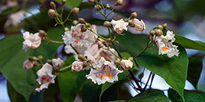Catalpa speciosa – description, flowering period and time in Arkansas, flowers on a branch closeup.