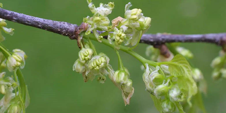 Hackberry – description, flowering period. the beginning of flowering, branch