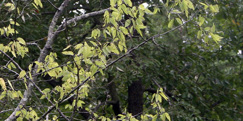 Hackberry – description, flowering period. branches with green leaves