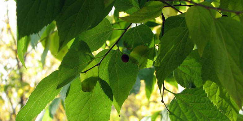 Celtis occidentalis – description, flowering period and general distribution in North Carolina. large green leaves and a lonely berry