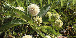 Cephalanthus occidentalis – description, flowering period and time in Arkansas, peculiar flowers.