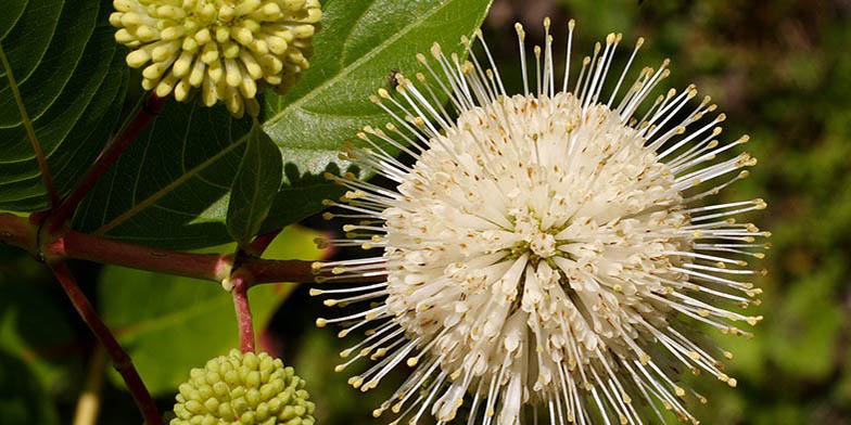 Cephalanthus occidentalis – description, flowering period. flower close up