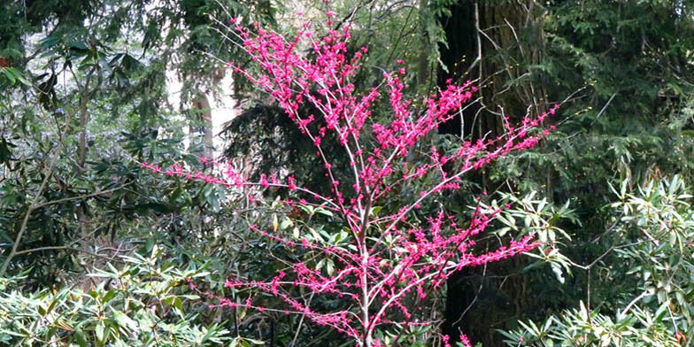Cercis canadensis – description, flowering period. young tree in bloom