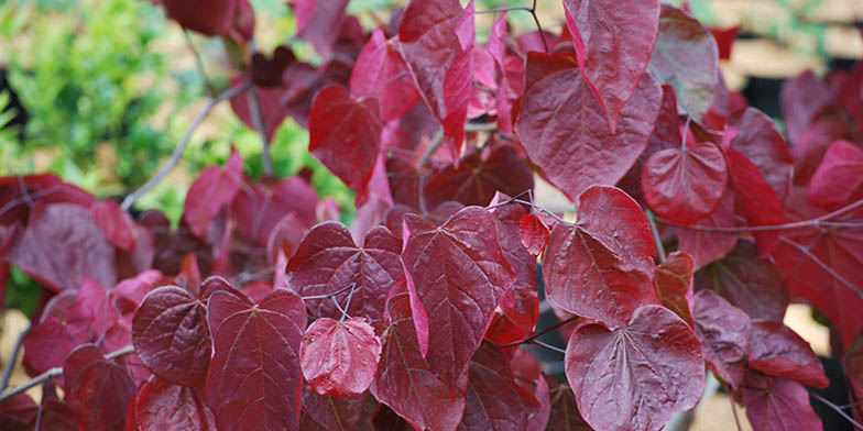 Cercis canadensis – description, flowering period. red leaves