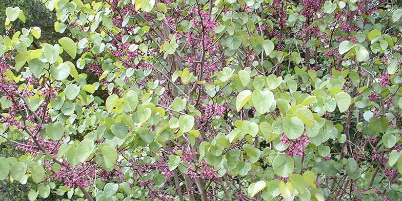 Western redbud – description, flowering period. Flowering plant