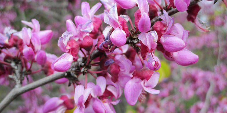 Western redbud – description, flowering period. A branch with pink flowers on it