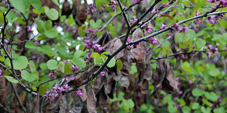 Western redbud – description, flowering period. Flowering is coming to an end. Flowers and some leaves fade on a branch