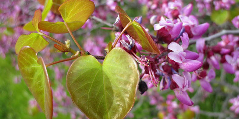 Western redbud – description, flowering period. Young leaves and pink flowers on a branch