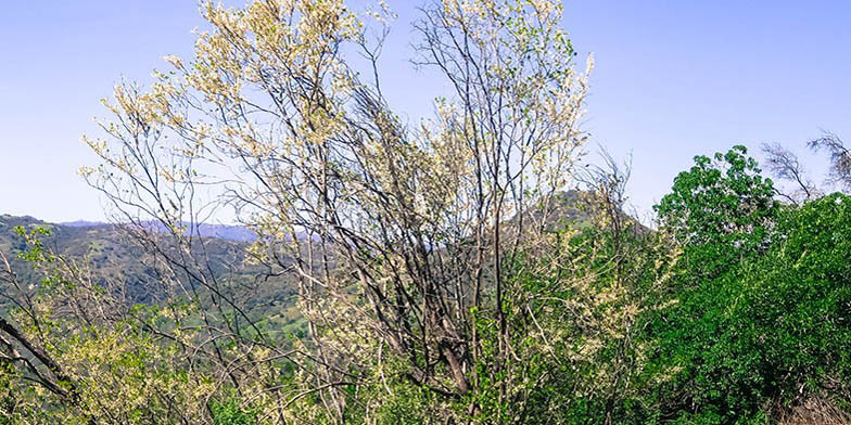 Western redbud – description, flowering period. Plant on a slope, autumn