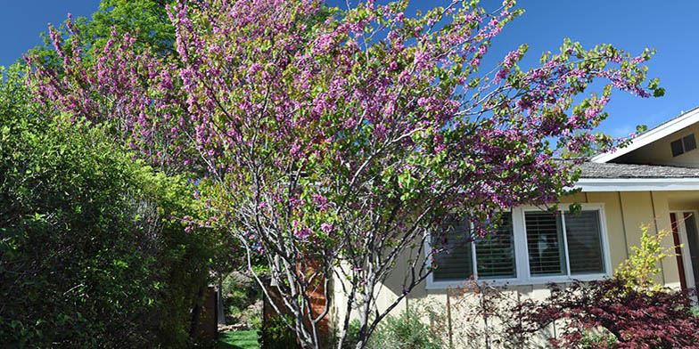 Western redbud – description, flowering period. Plant in the garden, flowering is coming to an end
