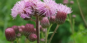 Cirsium arvense – description, flowering period and time in Arkansas,.