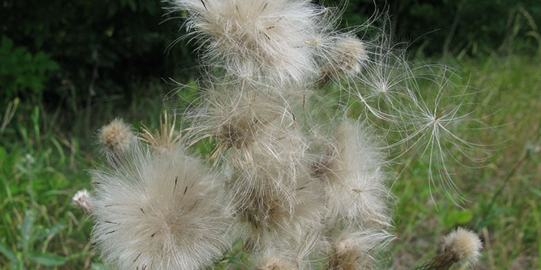 Field thistle – description, flowering period.