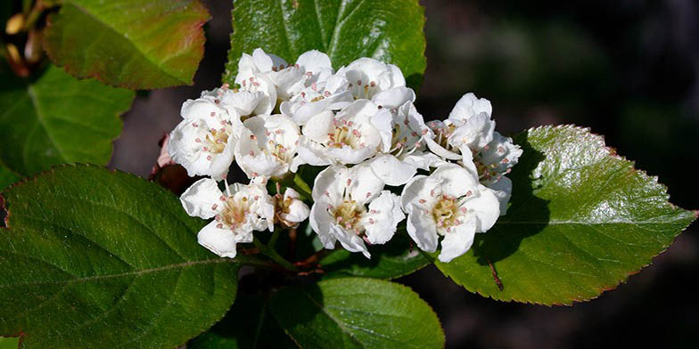 Crataegus douglasii – description, flowering period. flower-strewn branch