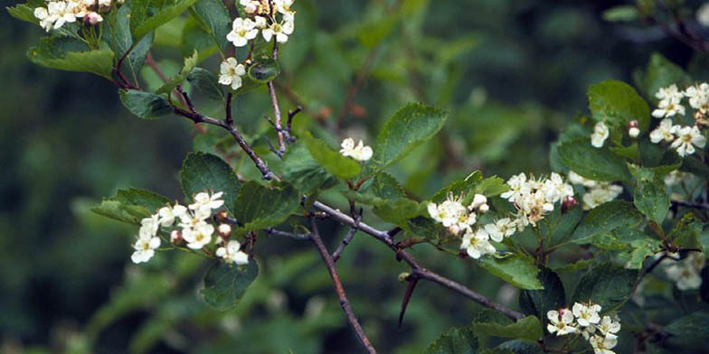 Crataegus douglasii – description, flowering period. leaf and needle close up
