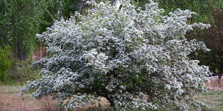 Crataegus douglasii – description, flowering period. lonely flowering tree