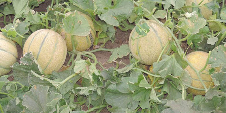 Honeymelon – description, flowering period. large ripe fruit on the ground