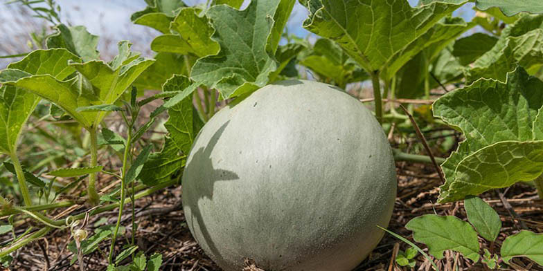Honeymelon – description, flowering period. singing fruit - pumpkin