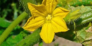 Cucumis sativus – description, flowering period and time in Arkansas, A large, yellow beautiful flower..