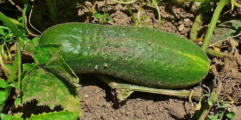 Cetriolo – description, flowering period. Ripe cucumber on the ground
