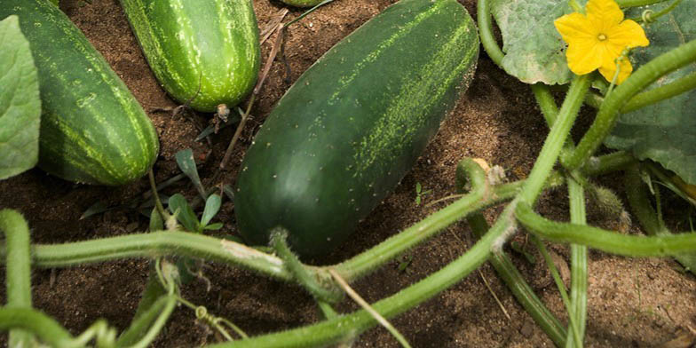 Cetriolo – description, flowering period. Cucumbers on the ground during flowering