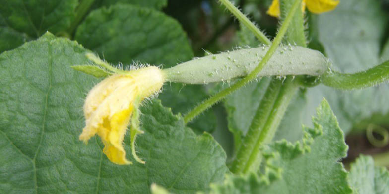 Cetriolo – description, flowering period. Cucumber begins flowering