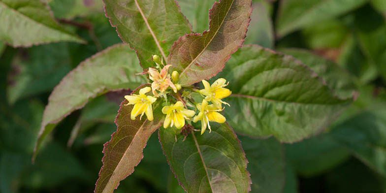 Dwarf bush-honeysuckle – description, flowering period and general distribution in Tennessee. flowering branch, focus on flowers