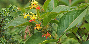 Diervilla lonicera – description, flowering period and time in Georgia, flowering branch.