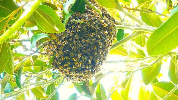 Foreign honey bees invade area changing life