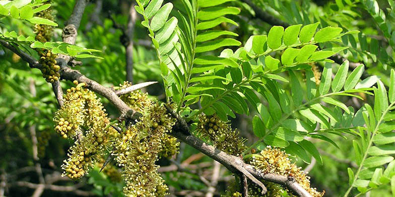 Sweet bean locust – description, flowering period. flowering plant