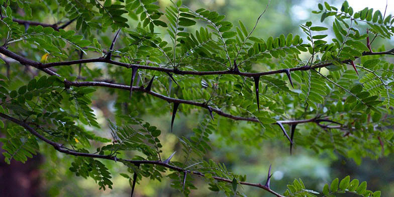 Sweet bean locust – description, flowering period. branches with green leaves and thorns