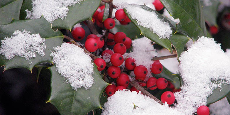 Dune holly – description, flowering period and general distribution in Virginia. Branch with green leaves and red fruits sprinkled with snow