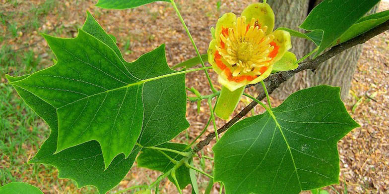 Yellow-poplar – description, flowering period. bright tuliptree flower on a branch