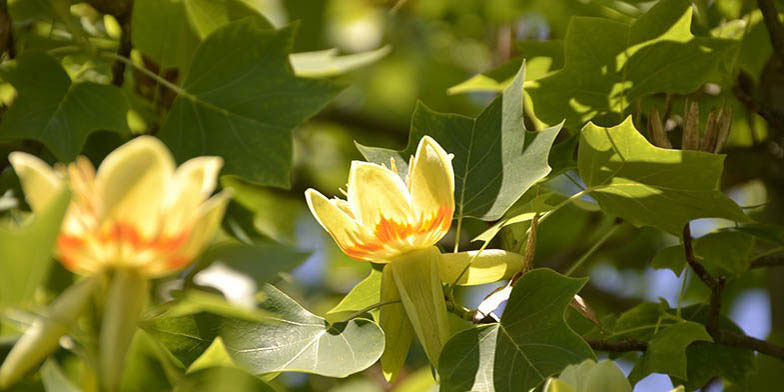 Yellow-poplar – description, flowering period. tree in bloom