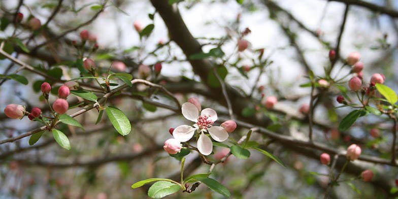 Malus angustifolia – description, flowering period and general distribution in Tennessee. Flowers bloom at the same time as leaves appear