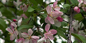 Malus coronaria – description, flowering period and time in Arkansas, a branch dotted with pink flowers.