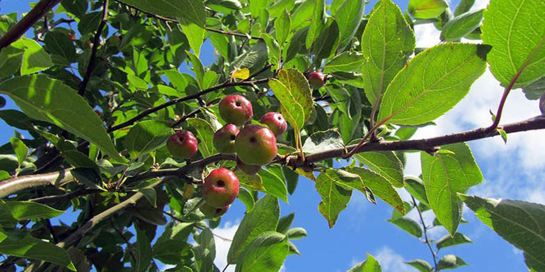 Buncombe crab – description, flowering period. ripe apples on a tree, bottom view up