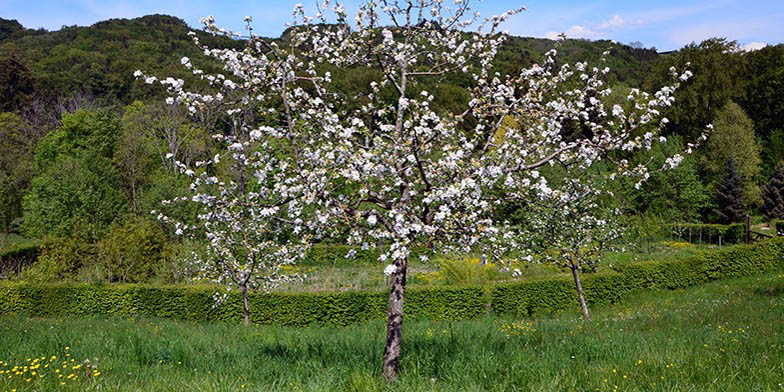 Malus pumila – description, flowering period and general distribution in Indiana. Flowering plant