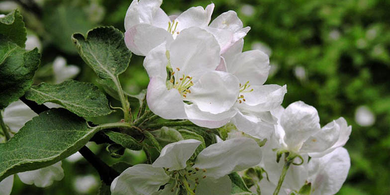 Malus pumila – description, flowering period and general distribution in Indiana. Apple is flowering spring honey plant