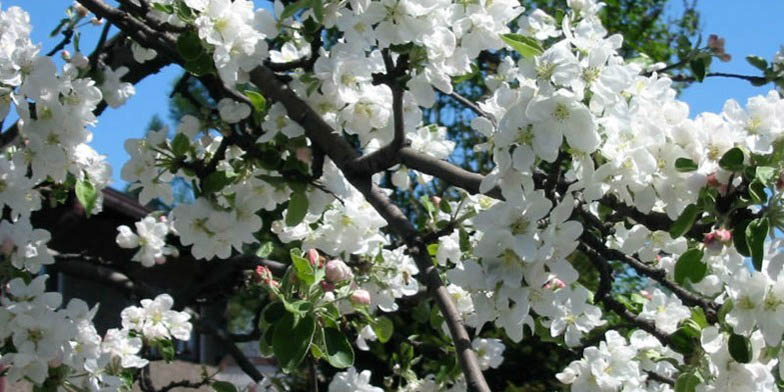 Malus pumila – description, flowering period and general distribution in Indiana. Flowers stuck to the apple tree branch
