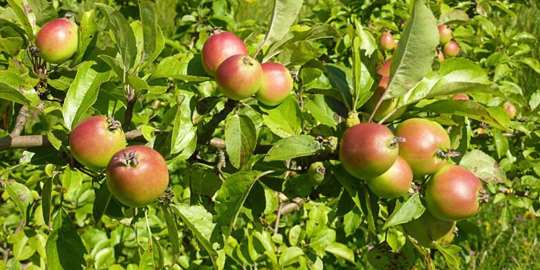 Malus pumila – description, flowering period and general distribution in Indiana. Apples on a branch