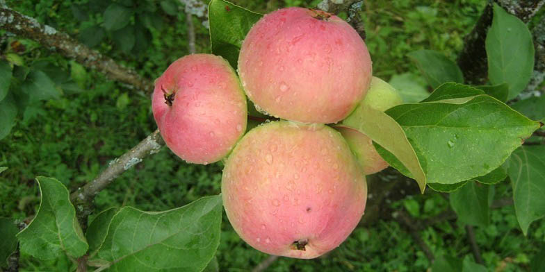 Malus pumila – description, flowering period and general distribution in Indiana. Four apples grow on a branch