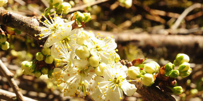Oregon crab apple – description, flowering period. Buds in the process of blooming. White flowers.
