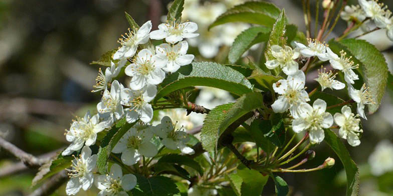Oregon crab apple – description, flowering period. Branch of a plant with green leaves and white flowers.