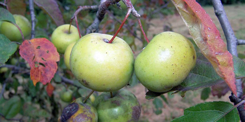 Iowa crab apple – description, flowering period. Ripe apples on a branch
