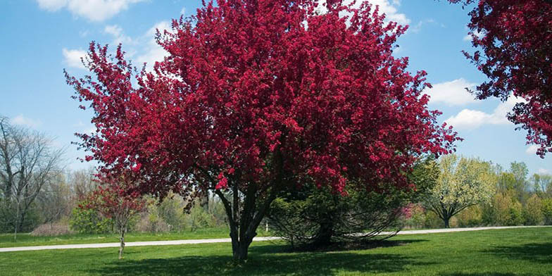 Iowa crab apple – description, flowering period. A tree in the park in the fall. Foliage turned red.