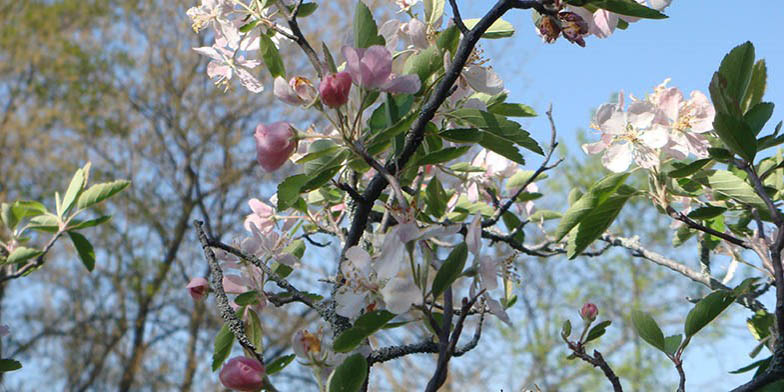 Iowa crab apple – description, flowering period. Flowering branches of a plant on a background of blue sky