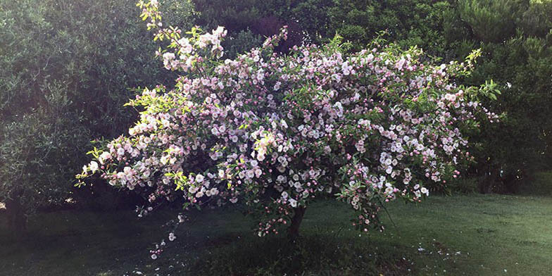 Iowa crab apple – description, flowering period. A low tree blossoms in a clearing.