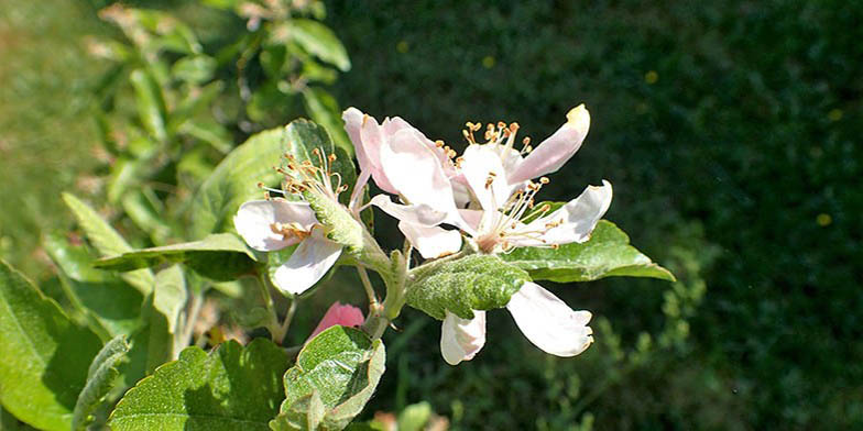 Iowa crab apple – description, flowering period. Young leaves and flowers