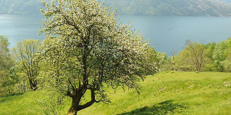 European crab apple – description, flowering period. beautiful tree on the side of a lake